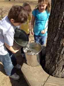 gathering sap