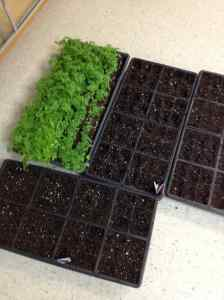 mustard basil seedlings