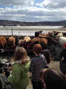 new beef herd