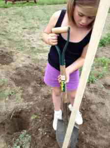 digging tomato stakes
