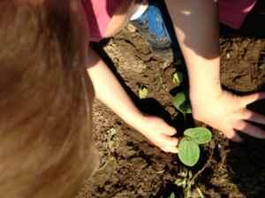 K hands planting squash