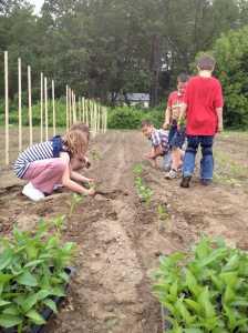 planting peppers in teams