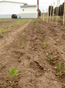 stakes in peppers planted