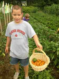 sungold cherry tomato harvest
