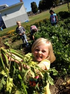ASP celery harvest