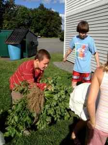 bringing in the celery harvest