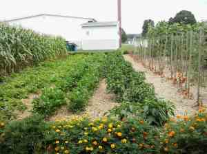 Celery, tomatoes, peppers and marigolds.