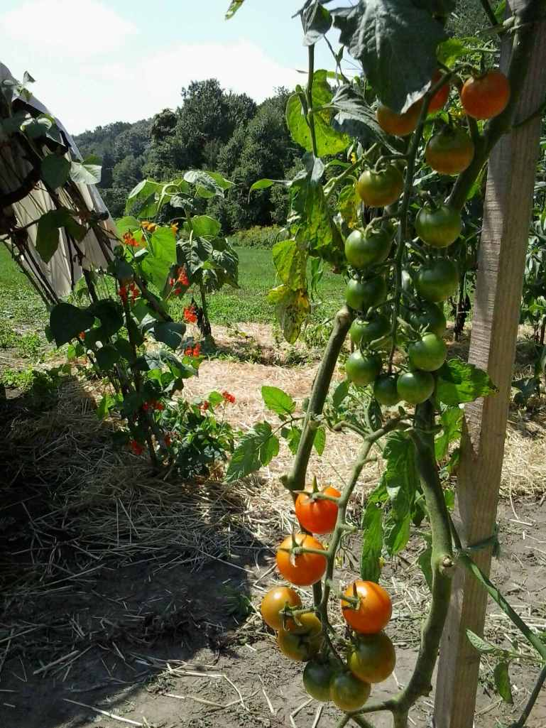 Ripening Sungolds