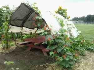 Sade shelter with scarlet runner beans.