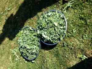 bowls of torn kale