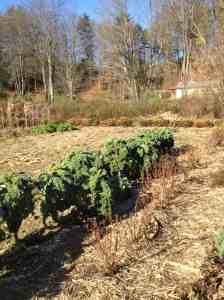Kale still growing oct.