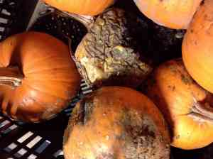stored pumpkins over time