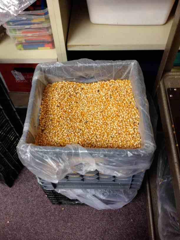 2013 Popcorn Harvest