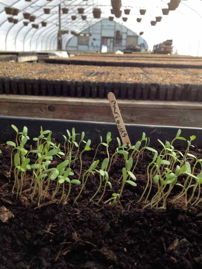 Marigolds to Greenhouse