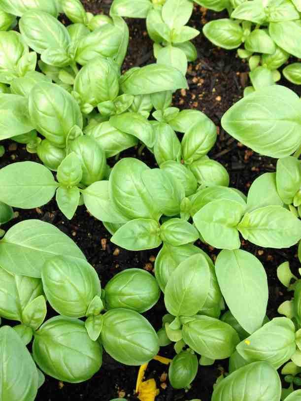 greenhouse basil closeup
