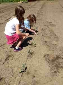 kale planting