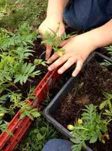 marigold transplanting