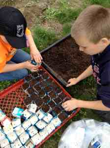 transplanting in milk cartons