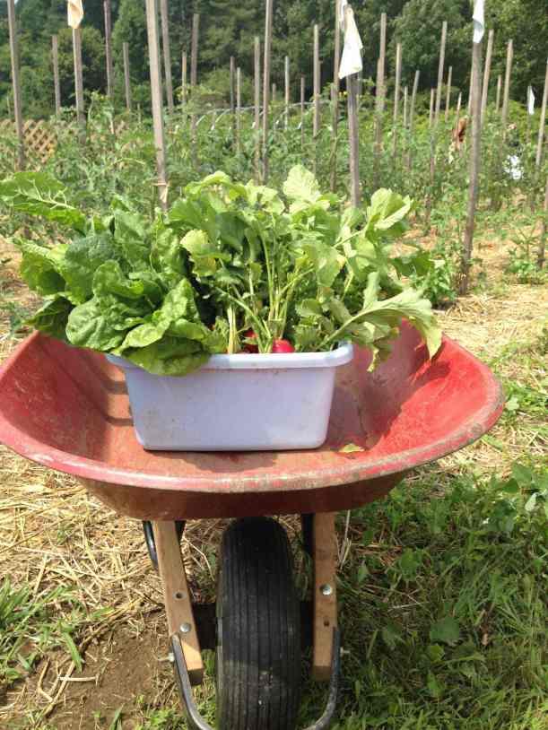 radish chard harvest