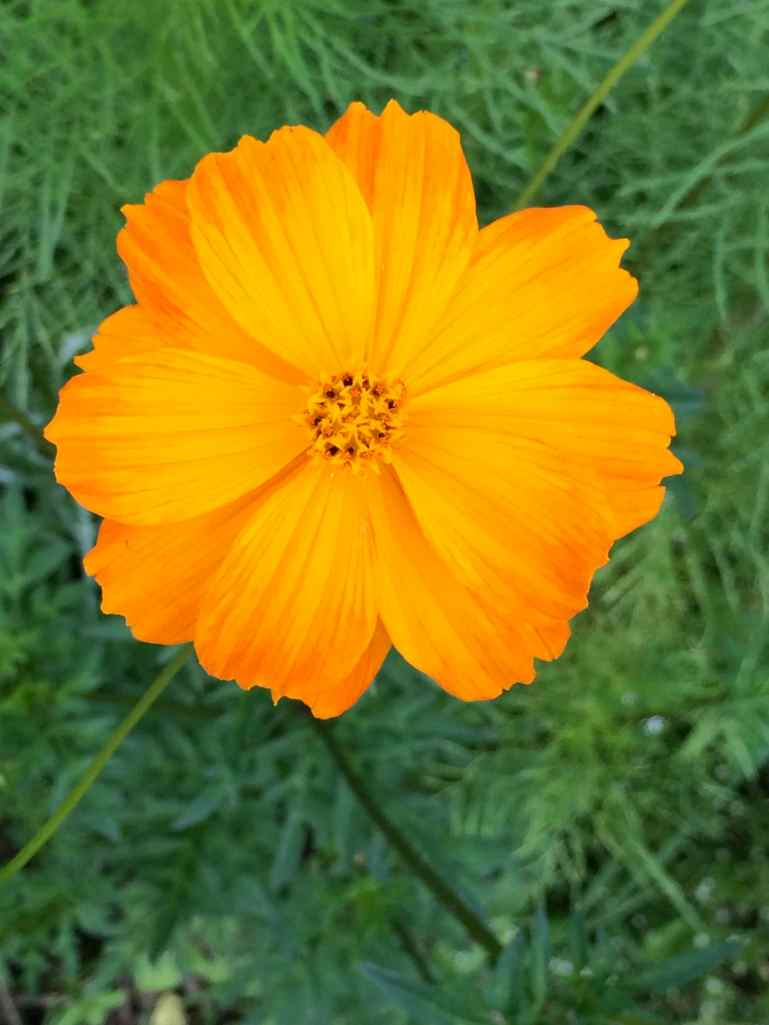 Rose's flower