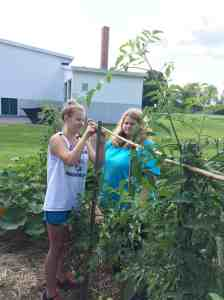 staking tomatoes