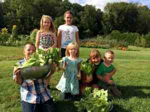 Lettuce harvest for Caesar Salad