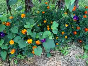 marigolds and morning glories