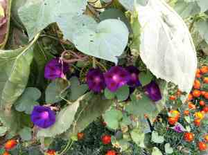 morning glories and marigolds