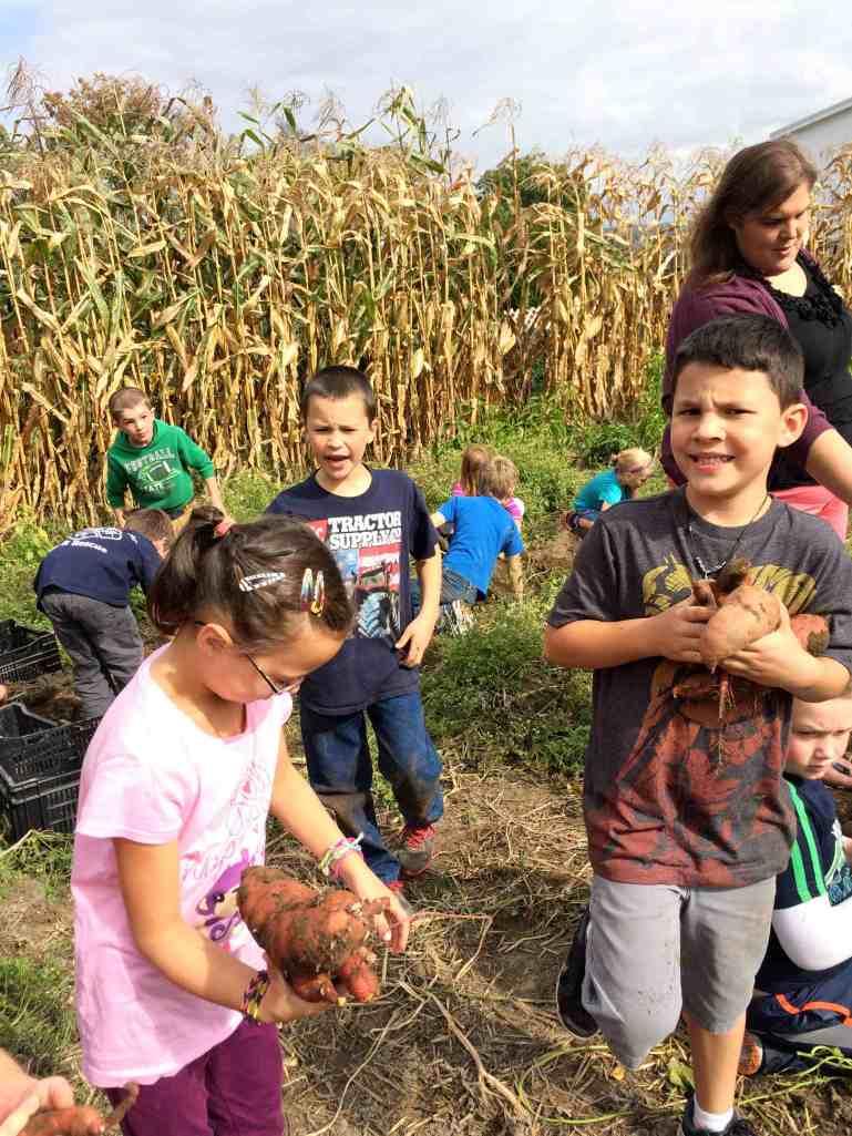 digging up sweet potatoes 2nd grades