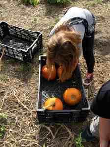 loading up pumpkins