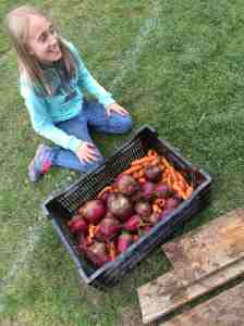 carrot and beet harvest