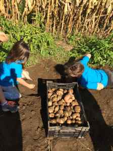 Digging potatoes gr. 6
