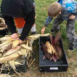 sorting corn