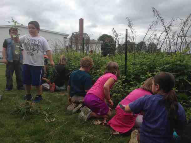weeding raspberries