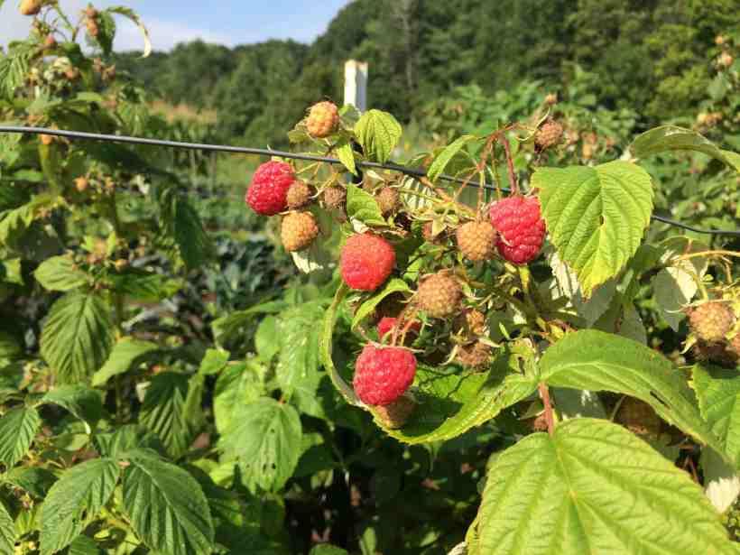 August raspberries