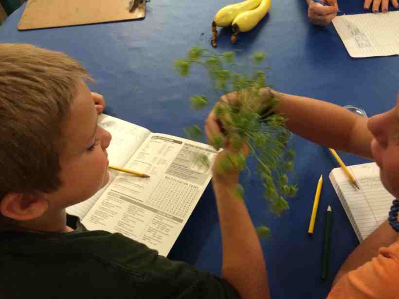 observing and drawing a dill seed head