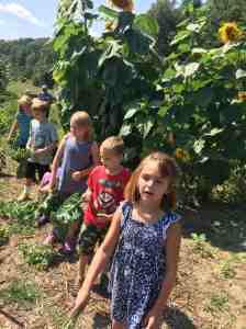 Harvesting Kale