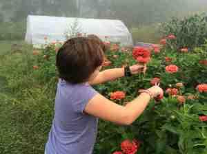 harvesting zinnias