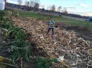 clearing away corn stalks