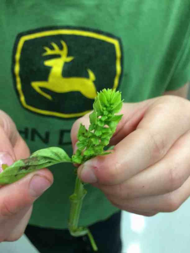 separating basil leaves