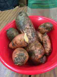 Sweet potatoes going going gon