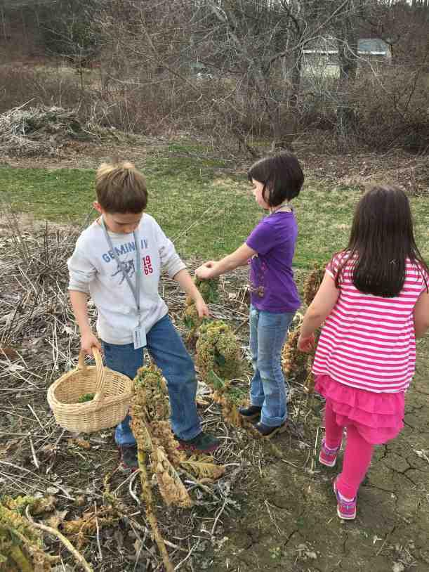 kale foraging