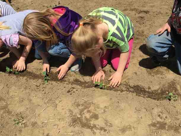 planting kale Grade 1