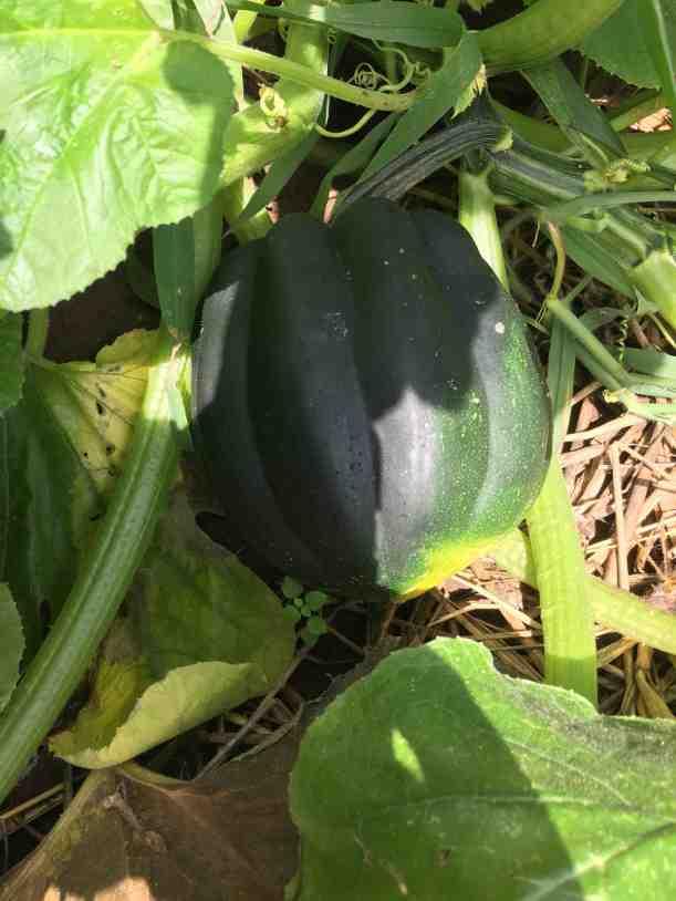 mystery-heirloom-native-seed-revealed-acorn-squash