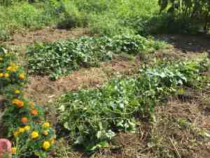 sweet-potatoes-weeded-and-mulched