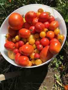 tomatoes for sauce and salad bar